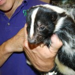 Stoosh - the skunk