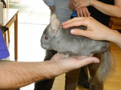 Sebastian - the chinchilla